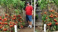 Vyras atskleidė, kaip prižiūri savo pomidorus (Nuotr. worldrecipes.eu)