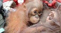 orangutanas (nuotr. stop kadras)