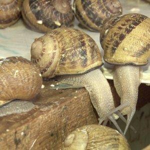 Sraigių augintojai nepasidavė: su gurmaniškais receptais įsisuko į vietinę rinką