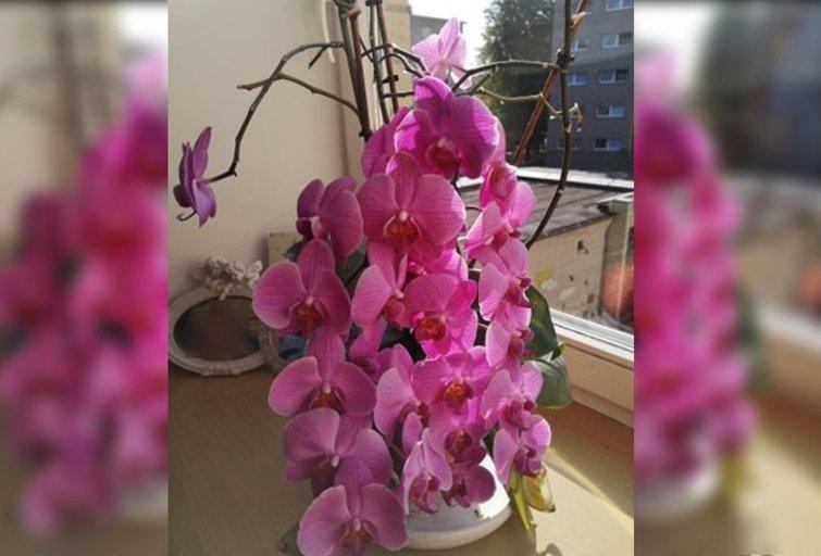Kaunietės Onutės orchidėjos stebina visas drauges (nuotr. asm. archyvo)
