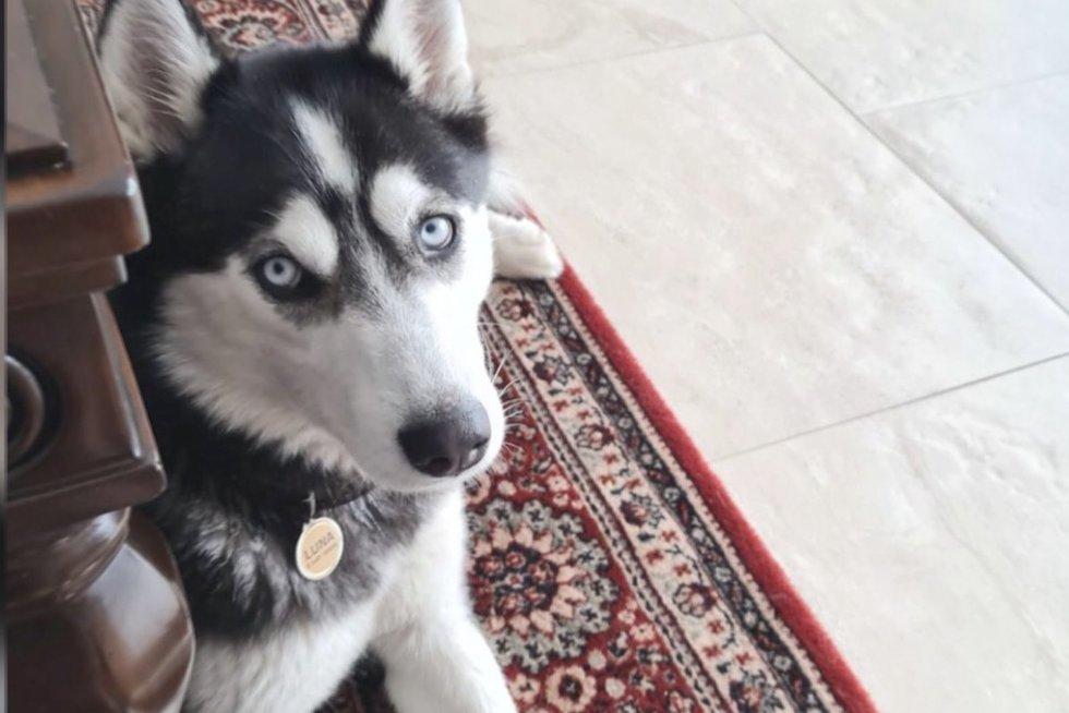 Neeilinės paieškos Dzūkijoje: mįslingomis aplinkybėmis dingo Sibiro haski veislės šuo (nuotr. stop kadras)
