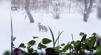 Į pajūrio gyventojų kiemus šią žiemą įsisuko lapės (nuotr. stop kadras)