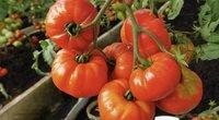 Specialistai atskleidė, kaip išsirinkti tinkamą pomidorų rūšį (nuotr. stop kadras)