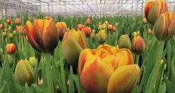 Artėjant kovo 8-ajai įvardijo, kokios tulpės šiemet pačios populiariausios ir geidžiamiausios