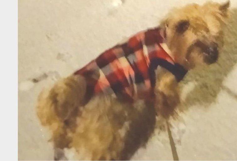 Šiurpus įvykis Kėdainiuose: parke sudraskytas jorkšyro terjerų veislės šuniukas (nuotr. rinkosaikste.lt)
