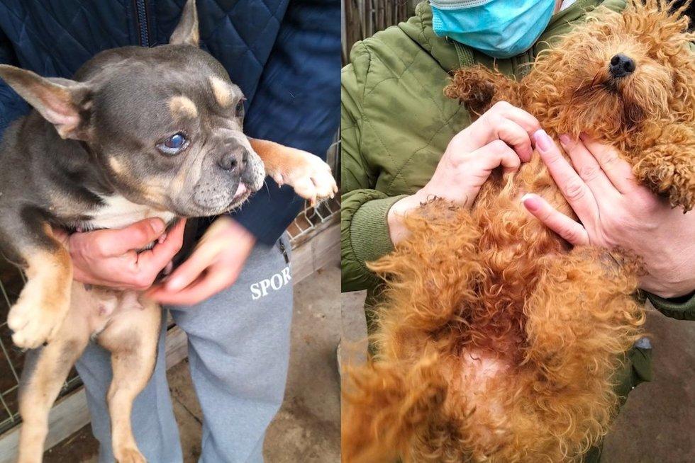 Išaiškinta dar viena šunų veisykla Jurbarke: gyvūnai išbadėję, iškankinti ir sužaloti (nuotr. stop kadras)