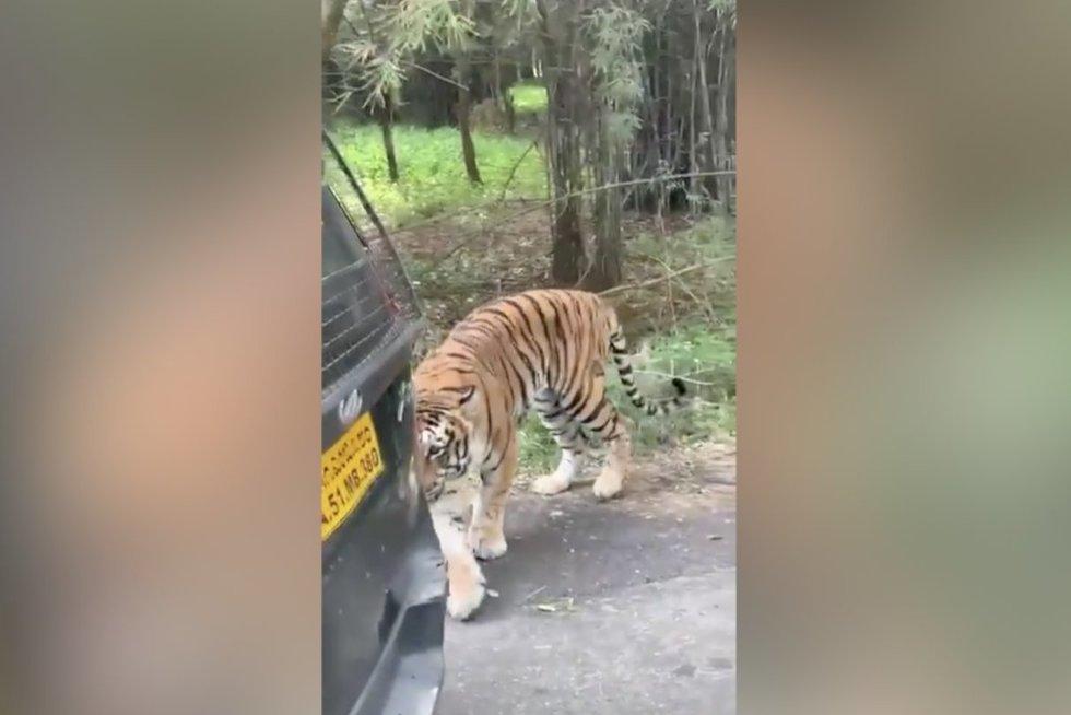 Tigras (nuotr. stop kadras)