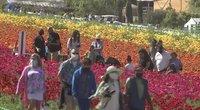 Kalifornijojos gėlių laukuose sužydo 70 milijonų gėlių (nuotr. stop kadras)