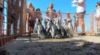Prikelti antram gyvenimui: būrys pingvinų grįžo į Atlanto vandenyną (nuotr. stop kadras)