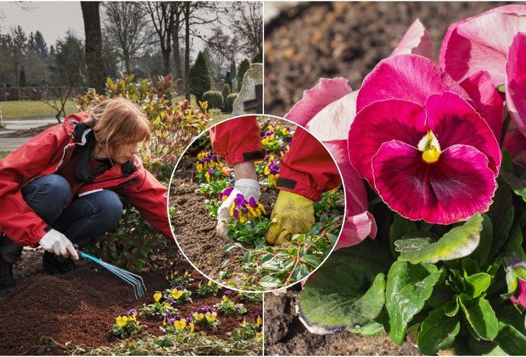 Kapų gėlės (nuotr. Shutterstock.com)