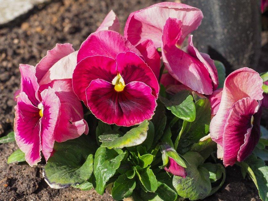 Kapų gėlės