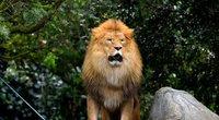 Liūtas (nuotr. SCANPIX)