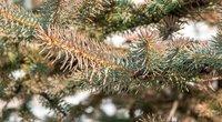 Eglės spygliai pradėjo ruduoti (nuotr. Shutterstock.com)