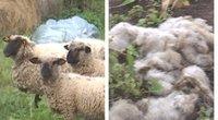 Jonavos rajono gyventojai įbauginti vilkų: bijo išeiti net į kiemą (tv3.lt fotomontažas)