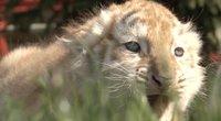 Sensacija Suvalkijoje: zoologijos sode gimė itin reti tigrų jaunikliai (nuotr. stop kadras)