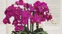 Orchidėja namuose  (nuotr. YouTube)