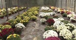 Vėlinėms tinka ne tik chrizantema: įvardijo gėlę, kuri nebijo šalčio ir net žiemos