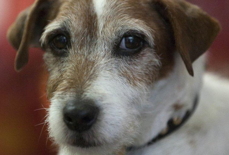 """Filme """"Artistas"""" vaidinęs šuo Uggie užmigdytas dėl auglio (nuotr. Vida Press)"""