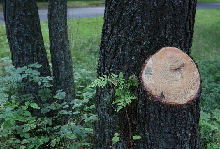 Medis (nuotr. Organizatorių)