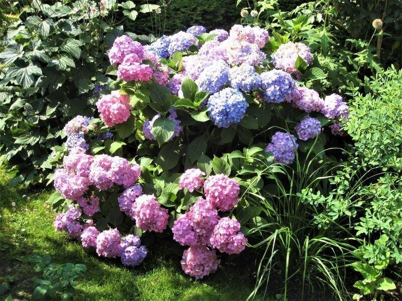 Didžialapių hortenzijų genėti nereikia (nuotr. Lina Liubertaitė)