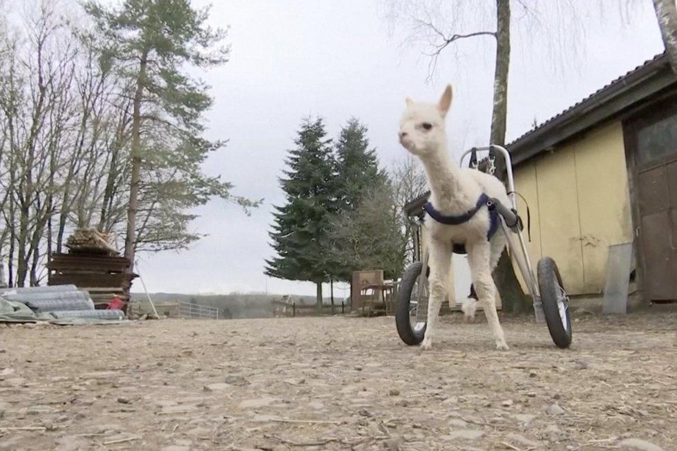 Surado būdą, kaip alpakos mažylei, neturinčiai užpakalinių kojų, lakstyti po kiemą (nuotr. stop kadras)