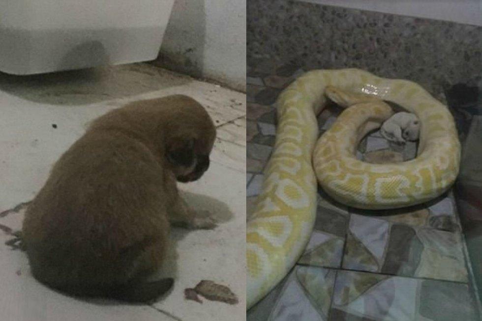 Sukrečiantis įrašas: pitoną pašėrė gyvu mažyčiu šuneliu (nuotr. vaizdo įr.)