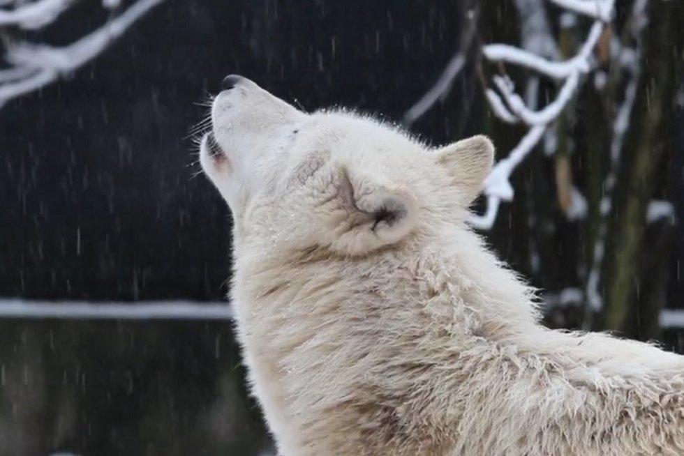 Viliojimo ritualai: kaip meilėje prisipažįsta gyvūnai (nuotr. stop kadras)