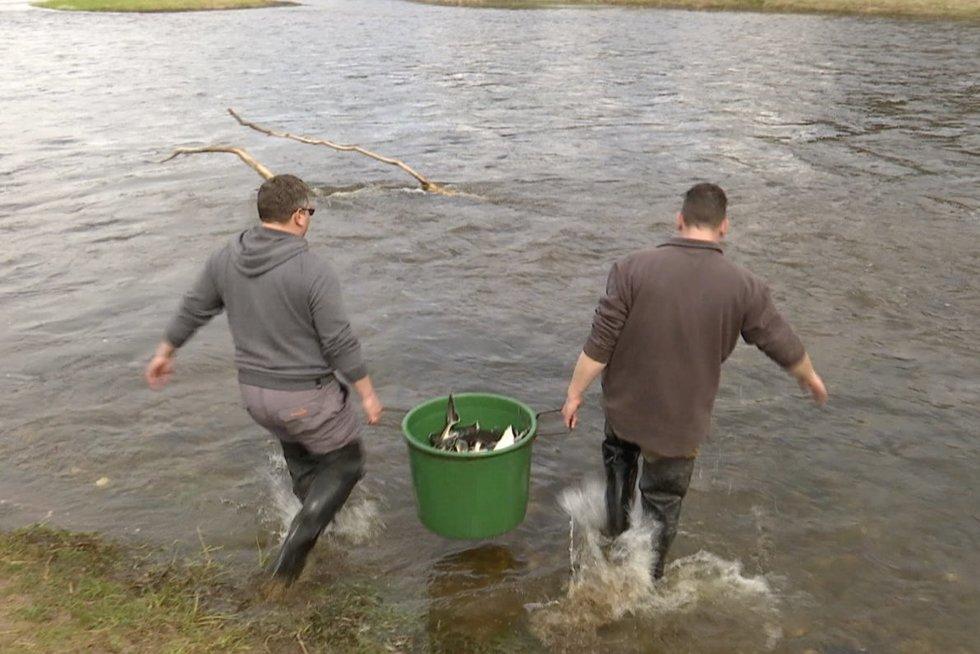 Tūkstančiai Rusnėje užaugintų eršketų keliauja į laisvę: žuvys pradės kelionę į Kuršių marias (nuotr. stop kadras)