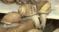 Sraigių augintojai nepasidavė: su gurmaniškais receptais įsisuko į vietinę rinką (nuotr. stop kadras)