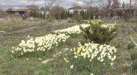 Narcizai (nuotr. stop kadras)