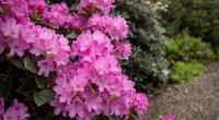 Rododendrų auginimas sode: ką reikia žinoti? (nuotr. Shutterstock.com)
