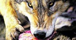 Suįžūlėję vilkai terorizuoja Panevėžio ūkininkus