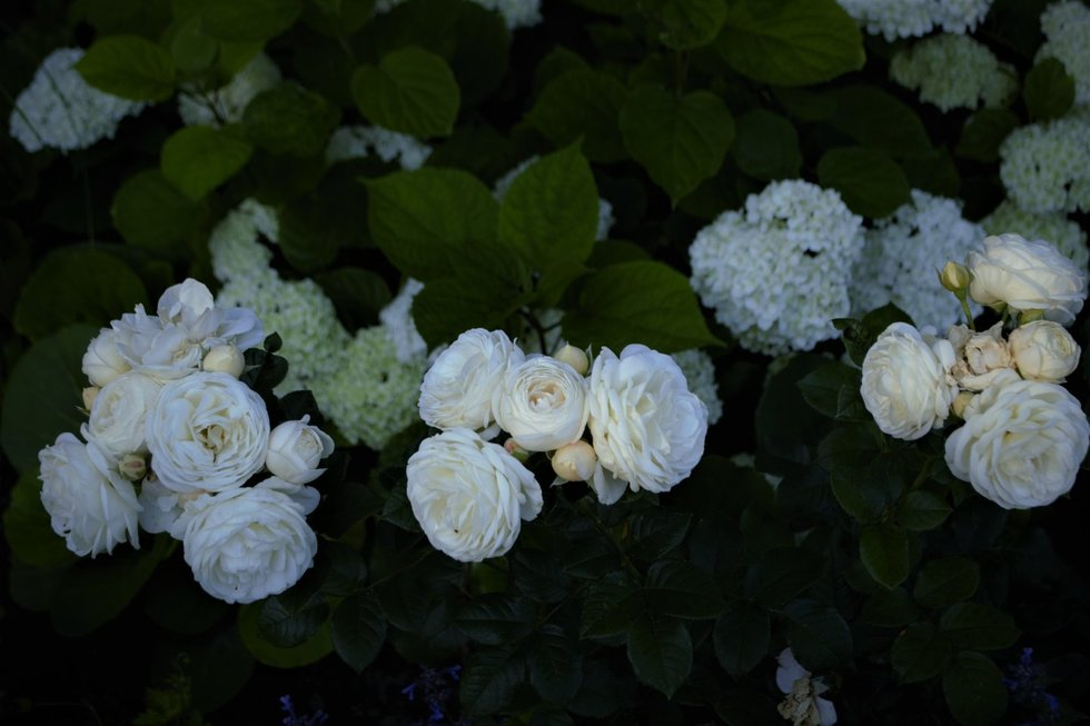 Ugnė savo sode augina daugiau nei 40 rožių rūšių
