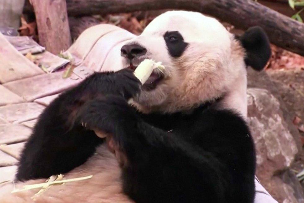 Panda (nuotr. stop kadras)