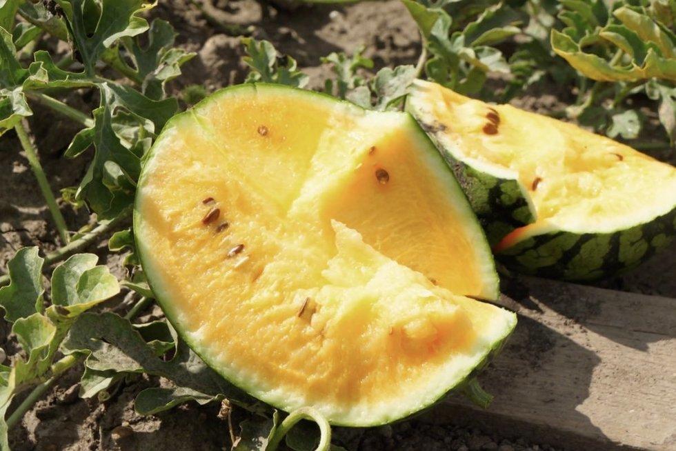 Skanius ir sultingus arbūzus gali užsiauginti ir Lietuvoje: pasakė, kaip tai padaryti (nuotr. stop kadras)