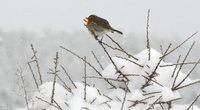 Paukštukas žiemą (nuotr. SCANPIX)
