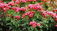 Rožės (nuotr. Shutterstock.com)