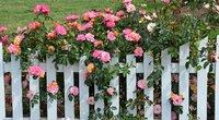 Rožynai  (nuotr. Shutterstock.com)