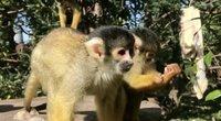 Beždžionėlės (nuotr. stop kadras)