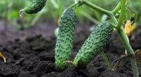 Agurkų auginimas  (nuotr. Shutterstock.com)