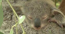Mielos koalos – pavojuje: gali išnykti iki 2050-ųjų