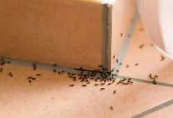 Atsisveikinkite su skruzdėlėmis visam laikui: štai, ką reikia padaryti