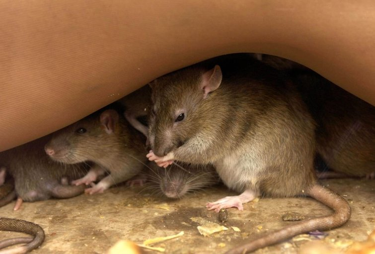 Žiurkės (nuotr. SCANPIX)
