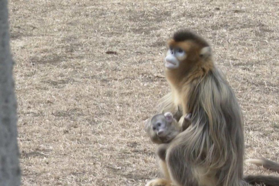 Beždžionėlė (nuotr. stop kadras)