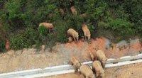 Kinijos miesto gatvėse siautėja 15 dramblių banda – pridarė milijoninių nuostolių (nuotr. stop kadras)