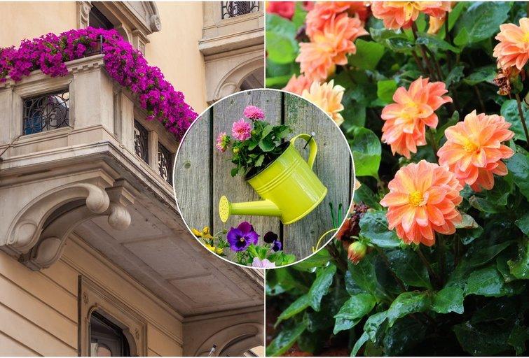 Nepraleiskite progos pasodinti lietuvių pamiltos gėlės: pasakė visus geriausius patarimus (tv3.lt fotomontažas)