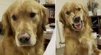 Šypsotis išmokęs auksaspalvis retriveris virto interneto sensacija – juokais prapliupo tūkstančiai (nuotr. stop kadras)