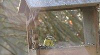 Vėstant orams gamtininkai ragina pasirūpinti ir sparnuočiais (nuotr. stop kadras)