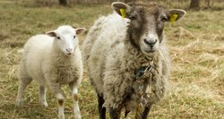 Avių augintojams – naujos galimybės