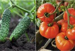 Įspėja agurkų ir pomidorų augintojus: šios klaidos juos gali numarinti